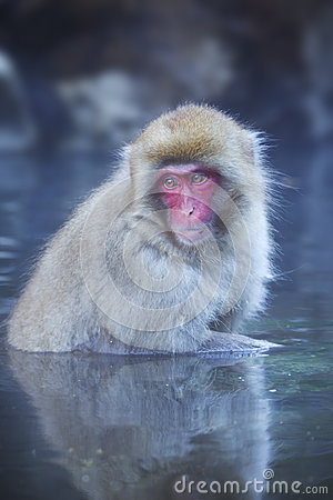 Free Japanese Snow Monkey Bathing In Hot Spring Stock Image - 67514651