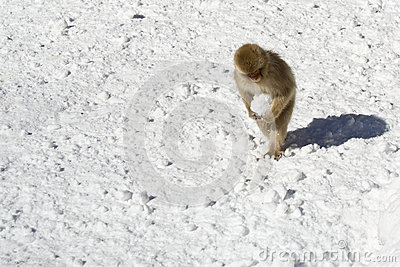 Japanese snow monkey, carrying snow ball