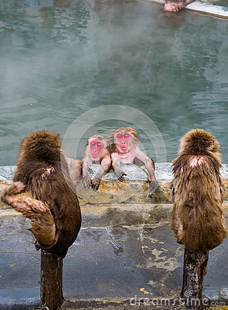 Free Japanese Snow Monkey Macaque In Hot Spring On-sen , Hakodate, Japan Royalty Free Stock Photo - 87358265