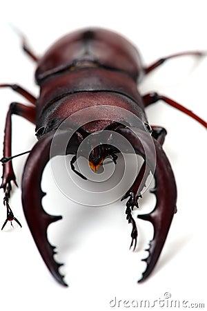 Free Japanese Stag Beetle-Prosopocoilus Inclinatus Royalty Free Stock Images - 38228789
