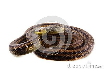 Japanese striped snake