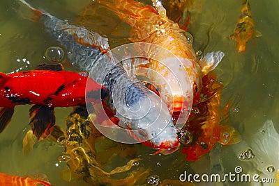 Japanese Tea Garden Koi Fish