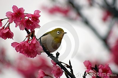 Japanese White Eye on a Cherry Blossom Tree