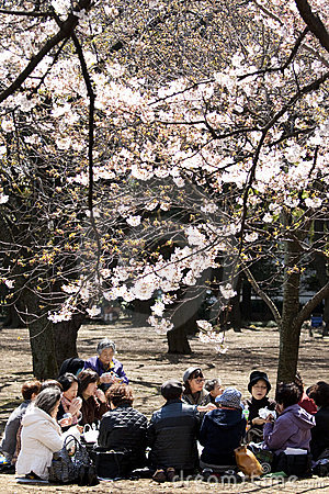 Japanese women drinking tea under cherry blossom Editorial Stock Photo