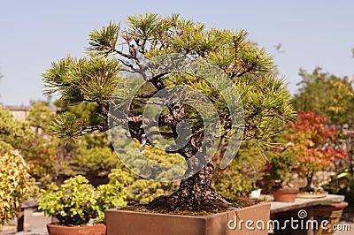 japanische bonsai baum kunst stockfoto bild 65376751. Black Bedroom Furniture Sets. Home Design Ideas