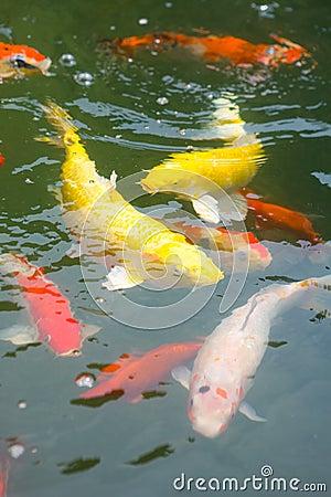 Japanischer koi karpfen in einem teich lizenzfreies for Kois und goldfische in einem teich