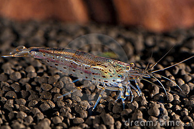 Japonica shrimp