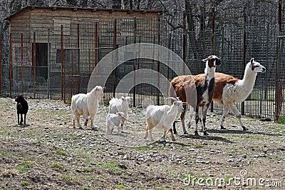 Jardim zoológico da cabra