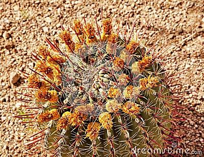 Jardín botánico del desierto del cacto de barril