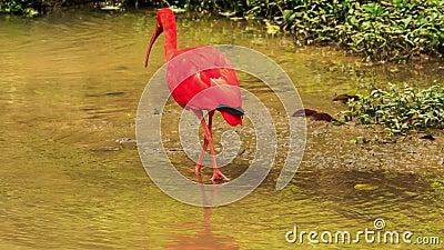 Jaskrawy Szkarłatny ibis Chodzi w płytkiej wodzie zdjęcie wideo