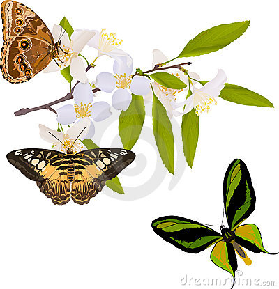 Free Jasmine Branch With Three Big Butterflies Stock Images - 15262364