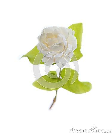 Jasmine flower (for Mather Day Thailand)