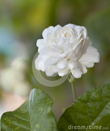 Jasmine flower (for Mother Day of Thailand).