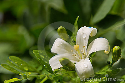 Jasmine flower with spring dew drops.