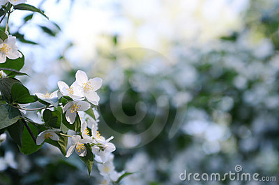 Jasmine flowers in the evening