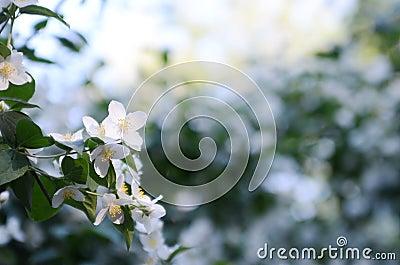 Jasmine flowers in the evening