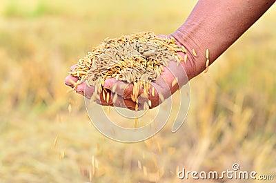 Jasmine rice seed