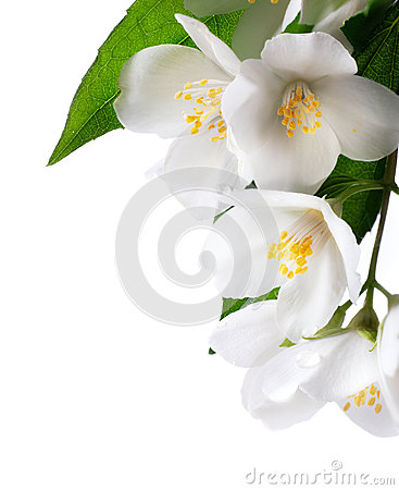 Jasmine white flower  on white background