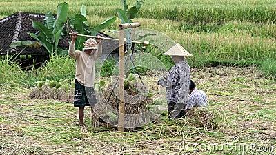 JATILUWIH, INDONESIA- GIUGNO, 16 2017: operai che pesano le toglie di riso a jatiluwih, Bali stock footage
