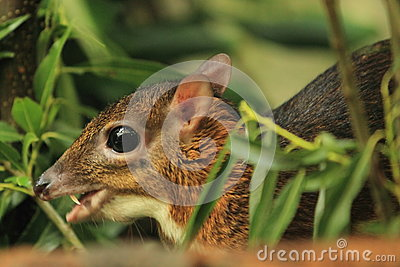 Java mouse-deer