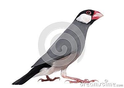 Java Sparrow - Padda oryzivora