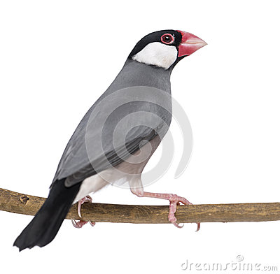 Java Sparrow perched on a branch - Padda oryzivora