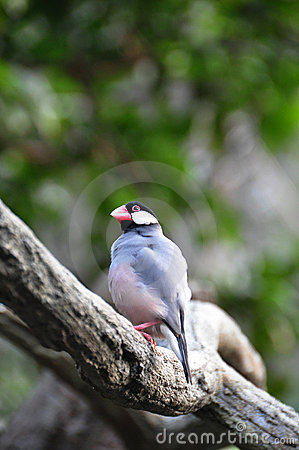 Java Sparrow in the tree