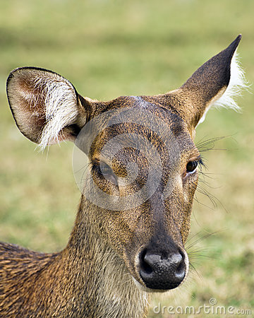 Javan Rusa Deer Royalty Free Stock Photos - Image: 26166088