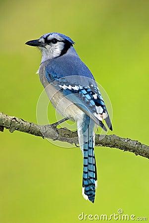 Jay blu (cristata di Cyanocitts)