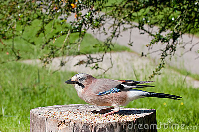 Jay Crouching on Old Tree Stump with Food