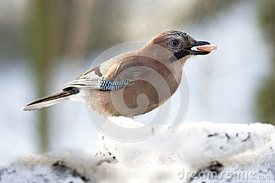 Jay with sausage in beak
