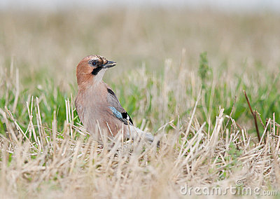 Jay with a seed