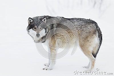 Jeden wilk w śniegu