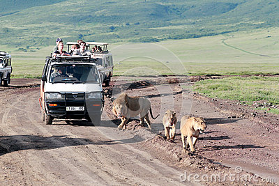Jeeps with tourists traveling on the road for a pride of lions, Ngorongoro National Park, Tanzania. Editorial Photo