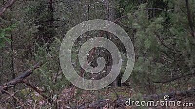 Jeleń europejski patrzący w kamerę w lesie Para jeleni w krzakach przy lesie, dzika przyroda zbiory