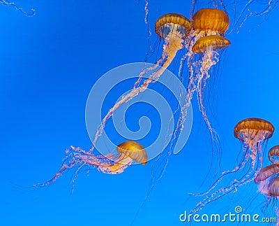 Jelly fish in an aquarium