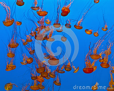 Jelly fish in an aquarium