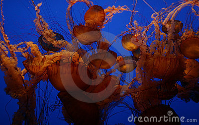 Jelly-Fish-Blue