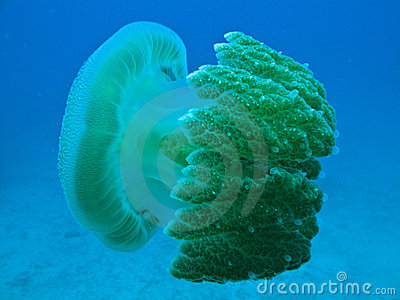 Jelly Fish on Great Barrier Reef Australia