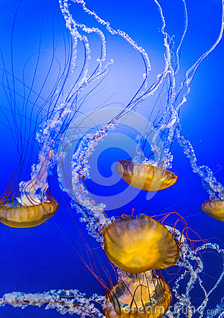 Free Jelly Fish In Blue Water Royalty Free Stock Photos - 43315028