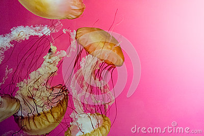 Jelly fish swim