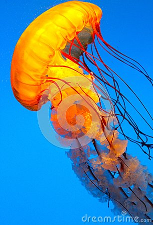 Free Jelly Fish Swimming Royalty Free Stock Photography - 46662437