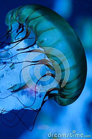 Free Jellyfish Stock Photos - 15641343