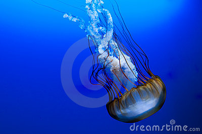 Jellyfish on blue