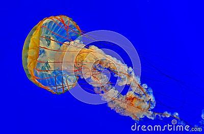 Jellyfish in a blue aquarium