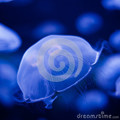 Free Jellyfish In Blue Royalty Free Stock Photography - 40823027