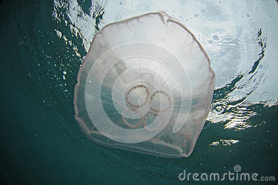 Jellyfish in ocean
