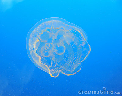 Jellyfish in ocean