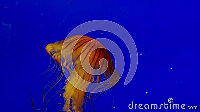 Jellyfish Pływać Podwodny zbiory