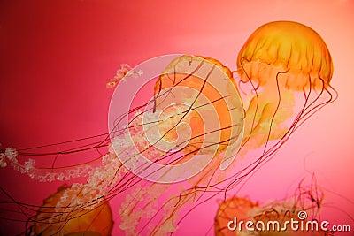 Jellyfish pokrzywy morze